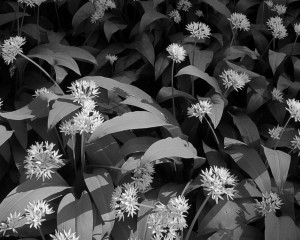 Joe Wright - Wild Garlic in Brockhurst Wood